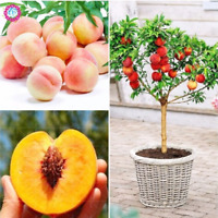 Peach Bonsai Tree Juicy Meaty Fruit Garden Pot Plants Semillas 2 PCS Seeds NEW X
