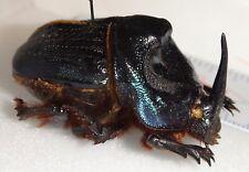 Scarabaeidae Coprophanaeus ensifer 39.2mm Brazil #DU-2 Dung Beetle Heliocopris