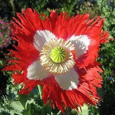 Papaver Danish Flag Poppy Approx 250 seeds Annuals & Biennials