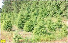 24 Canadian Hemlocks 2' In Height
