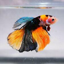 Live Betta Fish - Male -  Koi Fancy Multicolor HalfMoon Betta(AOCT100)