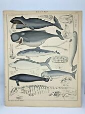 Antique large hand-colored print 1843.Oken's Naturgeschichte Whales Plate 90