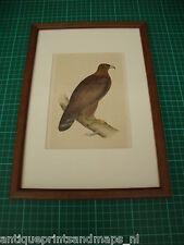 Antique framed bird print Golden Eagle antieke vogelprent steenarend Morris 1860
