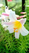 20+ seeds royal lily, lilium regale, fresh lily seeds