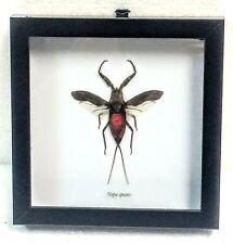 REAL RED WATER SCORPION, NEPA SPECIES,TAXIDERMY IN BLACK SHADOWBOX FRAME