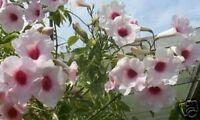 australische SCHÖNRANKE: Blüten verzieren den Garten