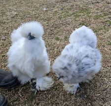 Silkie hatching eggs 8+ assorted colors