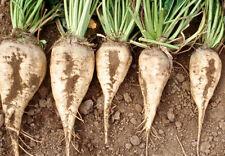 1/2 gram 50+ seeds USDA organic white Sugar Beet Beta vulgaris- Grow real sugar