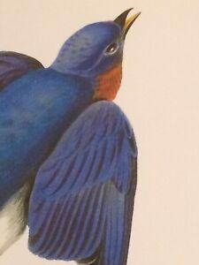 "Eastern Bluebird Audubon Print 11.5"" x 15"" Lithograph 315"
