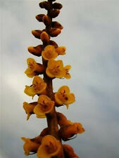 DYCKIA CHORISTAMINEA. exotic terrestrial bromeliad rare succulent seed 25 seeds