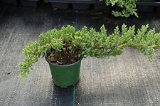 "Dwarf Japanese Garden Juniper Nana Bonsai Tree Healthy Evergreen Plant 4""Pot"