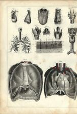 Stampa antica ANATOMIA NASO GOLA POLMONI medicina 1850 Old Antique print