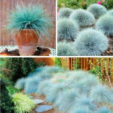 100 Seeds Blue Fescue Grass Bonsai Plant Tree House Herb Garden Flower Pot Decor