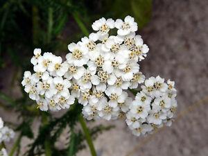 1000+ Yarrow Seeds - Perennial White Flower   Heirloom Wildflower Medicinal Herb