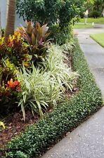 "36 4 inch Asiatic ""Minima"" Jasmine ""Green"" plants"