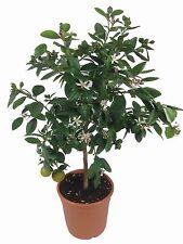 Limettenbaum - Lima Verde, Caipirinha Limette 70-80cm!