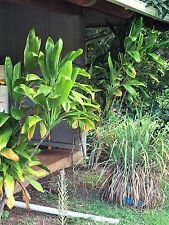 HAWAIIAN GREEN TI LEAF PLANT 2 LOGS 4 inches  ~ hawaii grown