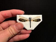 Entomologie Insecte Libellule dragonfly Rhinocypha anisoptera!! TOP QUALITY!