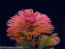 Bunched Red cabomba live tropical coldwater aquatic aquarium plant tank plants
