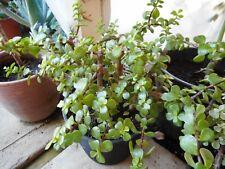 "New listing Solid Green""Elephant Bush""-Portulacaria -3"" Pot"