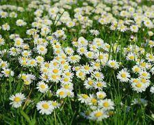 ☺3000 graines de marguerite blanche. leucanthemum vulgare