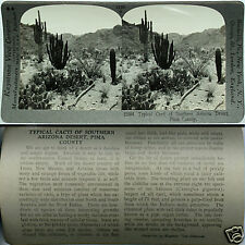 Keystone Stereoview of DESERT CACTI, Pima County, ARIZONA From 600/1200 Card Set