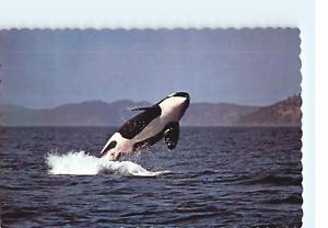 Killer Whales C P Johnston Company Alaska Postcard
