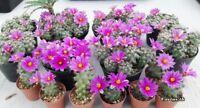 Cactus seeds mammillaria schumannii succulent Fresh seeds : 50 pcs.