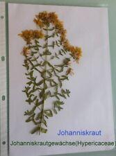 Johanniskraut, für Herbarium, Heilpflanze, Malpighienartigen