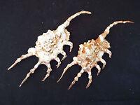 3 x scorpion conch. A-GRADE. Collector beach home decor wedding coastal craft