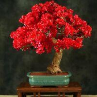 20PCS Red Bougainvillea Spectabilis Seeds Perennial Bonsai Plant Seeds