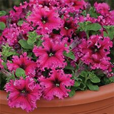 30+ PETUNIA GRANDIFLORA EXPRESSO FRAPPE ROSE FLOWER SEEDS / ANNUAL