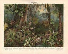 TROPENWALD Tillandsia  Begonia rex , Philodendron , Papaya  Lithographie um 1900