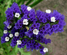 Statice Midnight Blue 100 Seeds Good Cut or Dried Flower Perennial