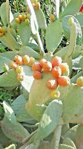 1 GRAND PLANT de CACTUS FIGUIERS de BARBARIE - Fruits Savoureux & Sucrés
