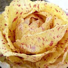 300 Graines Chicorée, Chicory Variegata di Castelfranco, Chicorium Intybus seeds