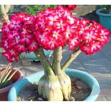 Rare Flower Pink Adenium Obesum Desert Rose Bonsai Tree Plant Seed 5PC ✿