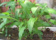 """100 Seeds """" Kangkong , River - Water Spinach , Ong Choy , Rau Muong , Ung Choi"""