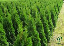 Lebensbaum Thuja Smaragd 120-140 cm Höhe. 12 x Heckenpflanzen 255,- €.