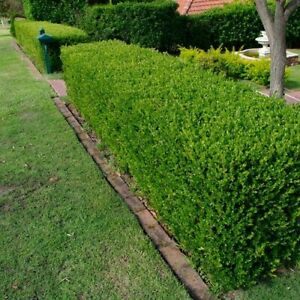 Chinese Boxwood Hedge Seeds (Buxus microphylla sinica) 20+Seeds