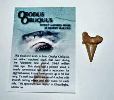 """Otodus Shark Tooth Real Fossil ¾-1 Inch (S) Tooth """"B"""" Grade 14516"""