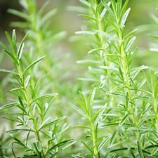 4 oz. Rosemary Mint Fragrance Oil for Candle and Soap Making
