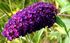 Bush Buddleia Black Knight Butterfly Davidii Live Herb Plant Outd/Indoor Garden