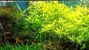 LOTTO PIANTE ACQUARIO dolce 13 steli + 5X5 MUSCHIO di JAVA Hygrophila polys