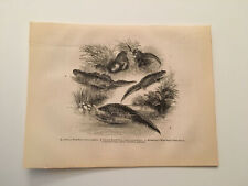 K79) Common Water Smooth Straight-lipped Palmated Newt 1845 Engraving