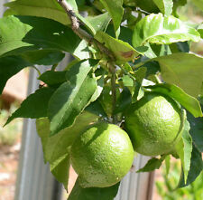 Lime Tree Seeds - THAI TROPICAL - MEDICINAL BENEFITS - Cooking,Juice - 10 Seeds