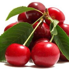 Cherry tree seeds peach wedge Jing Tao red cherry fruit trees about 20seeds SP