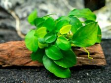 Anubias nana Petite- Live Aquarium Plant - Aquascaping, Largest For The Cheapest