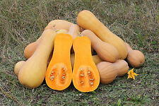 100 BUTTERNUT WINTER SQUASH(Waltham) Vegetable Seeds+ FREE GIFT*