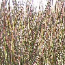 1 Lb Little Bluestem Native Grass Seeds - Everwilde Farms Mylar Seed Packet